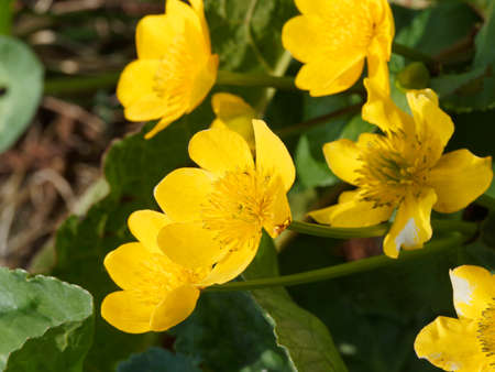 Caltha palustris - Tuft of Marsh Grass or Water Marigold with bright yellow flower on creeping stem with heart-shaped and dark green toothed leaves