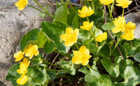 Caltha palustris - Marsh marigold or marigold - Caltha palustris - semi-aquatic plant with flowers with golden yellow tepals on stem in cordate, toothed and glabrous foliage