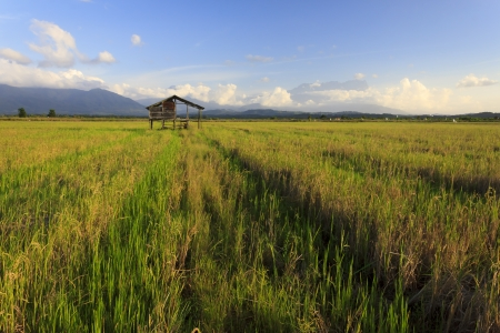 The serenity of a paddy field in Kota Belud, Borneo, Sabah, Malaysia with Mount Kinabalu at the background  photo