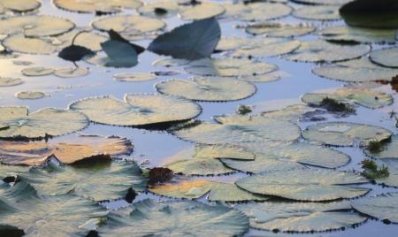 plantas acuaticas: Las plantas de agua en un lago
