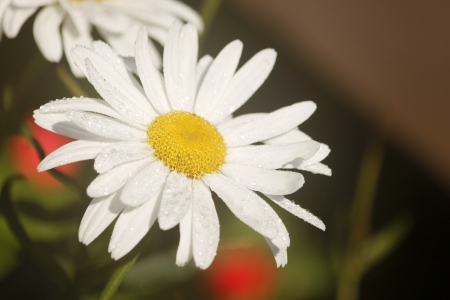 Daisy flower with morning water droplets photo