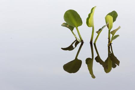 plantas acuaticas: Reflexi�n de las plantas de agua en un estanque