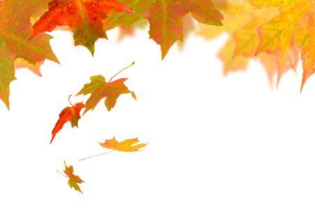 プラタナス: 白い背景の上に落ちてくる秋の葉
