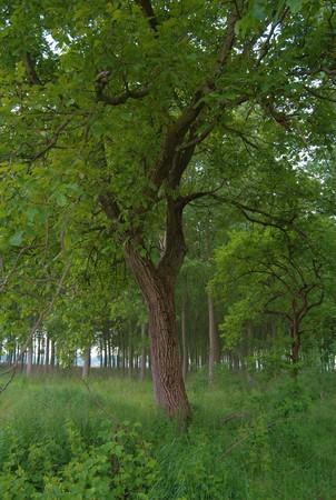 albero: albero di noci