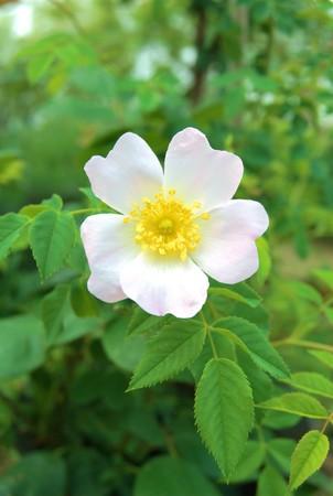 foglie: rosa canina