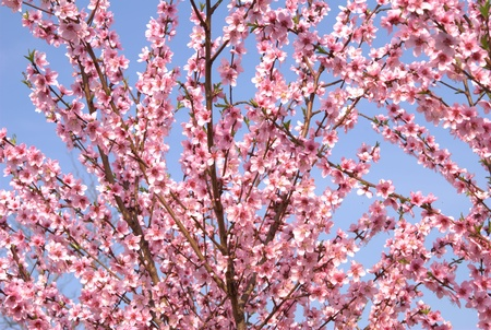 background with peach blossoms in spring photo