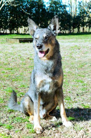 half breed: mongrel dog sitting