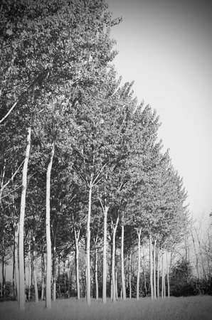 poplar: Poplar in spring in black and white Stock Photo