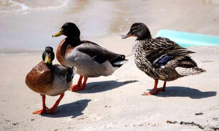 Three wild ducks walking on a beach. photo