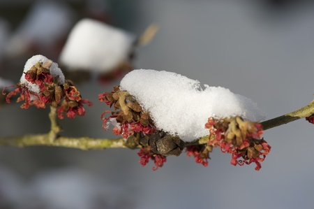 witchhazel: Witch-Hazel in early spring sun with cover of snow