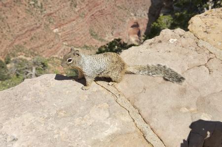 Squirrel at Grand Canyon Rim photo