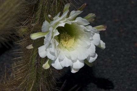 Argentinien Giant Kaktus Blüht Lizenzfreie Fotos, Bilder Und Stock ...