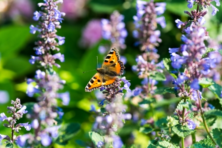 catnip: Butterfly inbetween catmint blossoms
