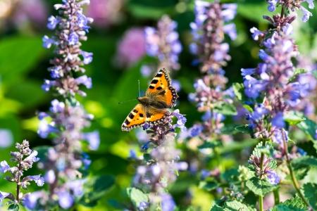nepeta cataria: Farfalla inbetween nepitella fiori Archivio Fotografico