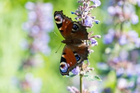 inbetween: Butterfly inbetween catmint blossoms