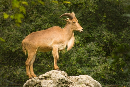 Adult Barbary Sheep on a rock photo