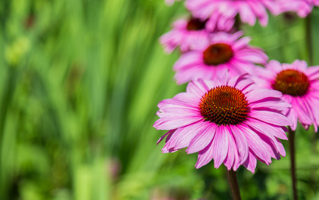 Closeup to a Purple coneflower during the day