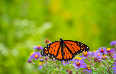 Monarch butterfly on flowers with its wings spread photo