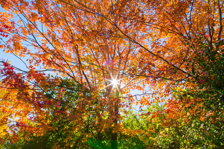 aceraceae: A tree in the Fall with the sun shining through Stock Photo