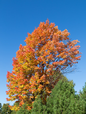 changed: Maple Trees in the fall with copy space