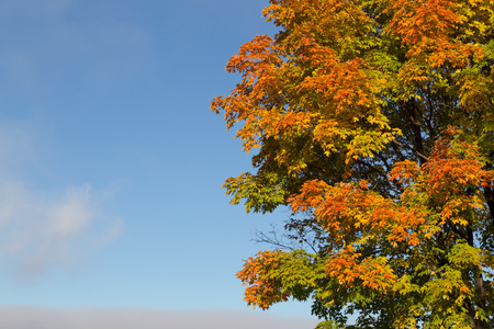 aceraceae: Green, Orange and Yellow Tree in the fall