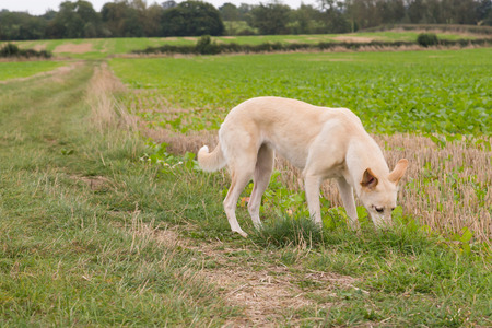 lurcher: A dog sniffing the ground in a field Stock Photo