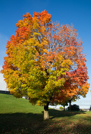 aceraceae: A colorful tree in the fall