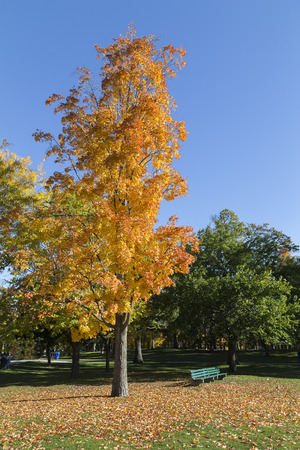 A colourful orange tree in the fall with some green trees in the background photo