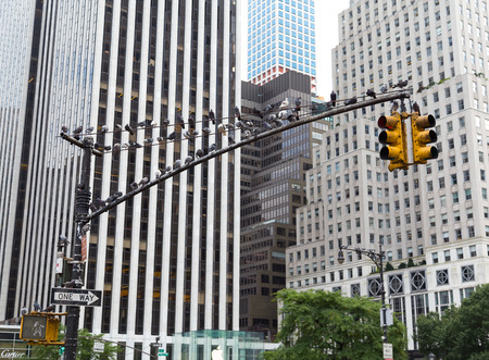 amounts: NEW YORK CITY, USA - 1ST SEPTEMBER 2014: Large amounts of birds perched on a traffic light pole during the day Editorial