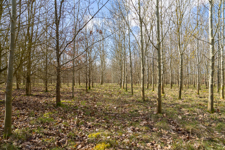 planted: Trees that have been planted in a wood in england Stock Photo