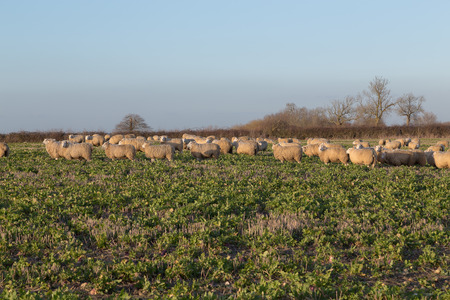 amounts: Large amounts of sheep in a field and some of them looking towards the camera