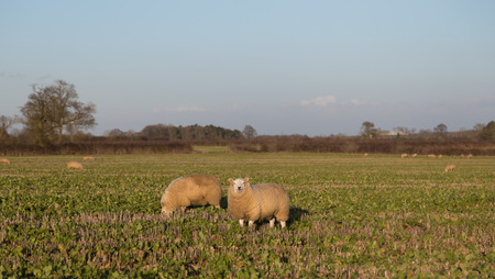 amounts: Large amounts of sheep in a field