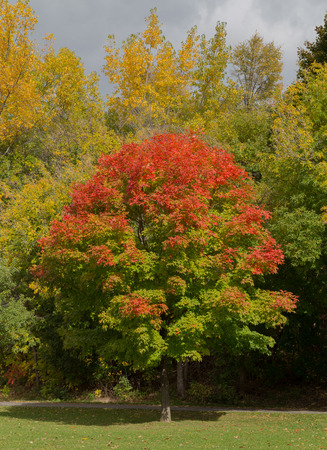 aceraceae: A tree showing colourful leaves in the fall Stock Photo