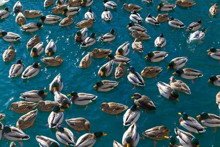 amounts: Large amounts of ducks in Lake Ontario