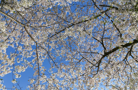 low angle: Low angle view of a Cherry Blossom tree canopy Stock Photo