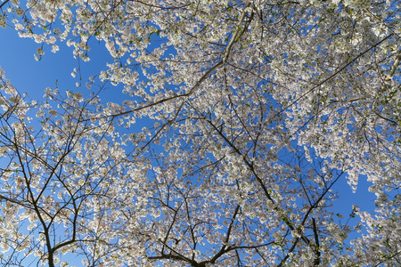 tree canopy: Low angle view of a Cherry Blossom tree canopy Stock Photo