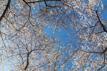 canopy: Low angle view of a Cherry Blossom tree canopy Stock Photo
