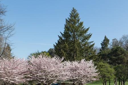 sakura arbol: Un �rbol de la flor de cerezo Sakura con un �rbol verde en el fondo