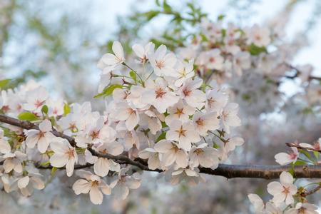 sakura arbol: Primer plano de un ramo de flores de cerezo en un �rbol de Sakura durante la primavera
