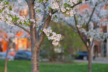 sakura arbol: Un primer de un peque�o manojo de flores de cerezo en un �rbol de Sakura. No hay espacio de la copia a la derecha.