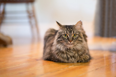 maine cat: A closeup to a Maine Coon Cat resting on its stomach inside. There is space for text.