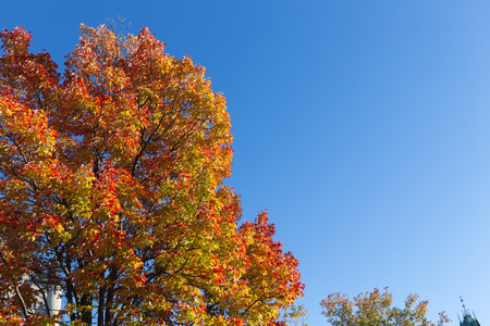 aceraceae: Colorful Maple Trees in the fall in Canada with copy space. Stock Photo