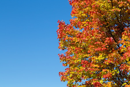aceraceae: Maple Trees in Canada in the fall with copy space on the left