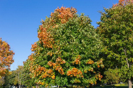 aceraceae: Maple Trees in the fall in Canada with copy space