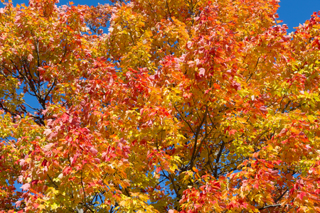 aceraceae: Maple Trees in the fall with copy space