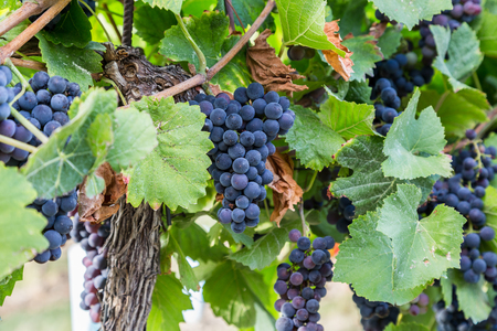viñedo: De cerca de un gran manojo de uvas de vino rojos en los árboles en un viñedo.