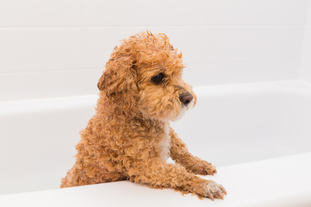 from side: Closeup to a Poodle Dog that has just had a bath in a bathroom tub. Stock Photo