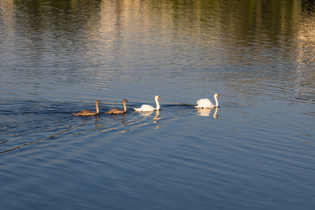 mothering: A famly of Swans with  two adults and two signets