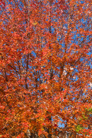 aceraceae: Closeup to a Colourful Maple Tree in the fall in Canada with copy space Stock Photo