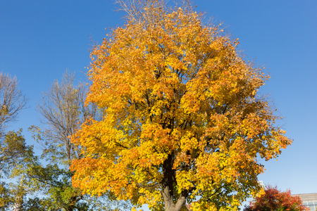 aceraceae: Yellow Maple Tree in the Fall in Canada. Stock Photo